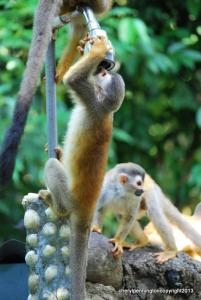 "Usually the Squirrel Monkeys or ""titis"" stop by sometimes twice a day, going to, and coming from, the beach. Love 'em!"