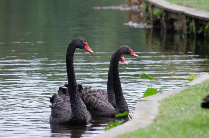 black swan lake best