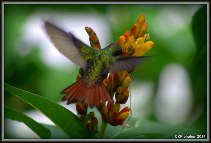 best hummingbird EVER sept 2014 030.NEF