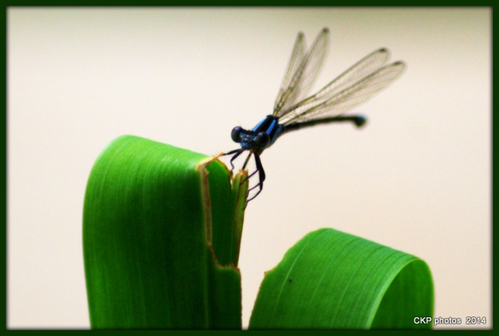 best hummingbird EVER sept 2014 043.NEF
