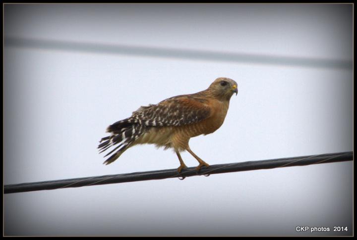 hawk nov 2014 036.NEF