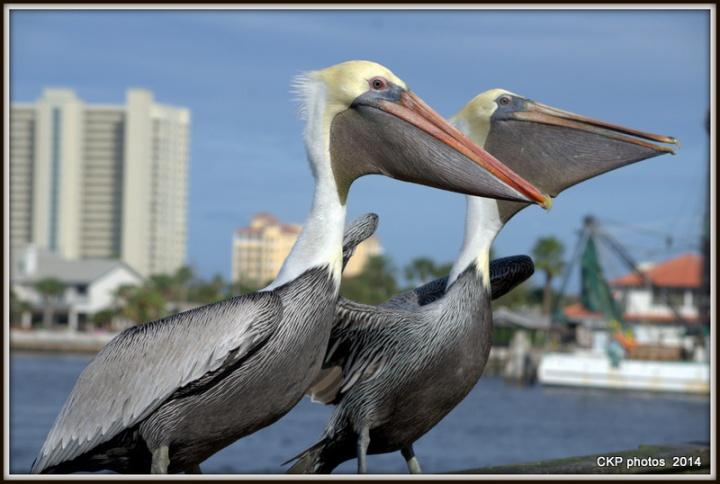 Pelican antics and fishing 098.NEF