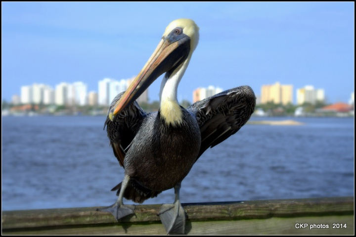 Pelican antics and fishing 104.NEF