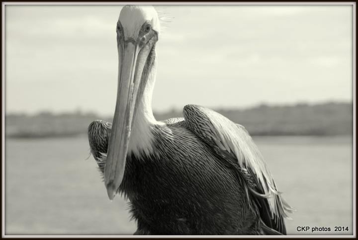 Pelican antics and fishing 118.NEF