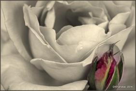 rose garden 072.NEF