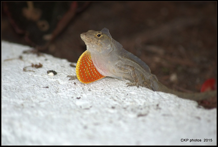 lizards and roses and things 054.NEF