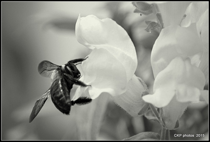 bee in may 2015 007.NEF