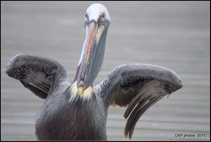 pelican wednesday april 2015 073.NEF