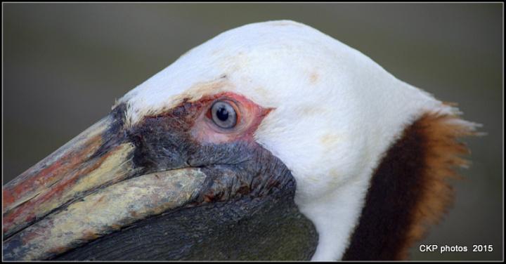 pelican wednesday april 2015 084.NEF