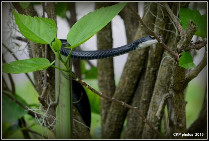 snake drama 069