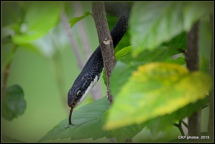 snake drama 093