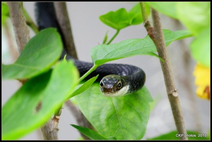 snake drama 097