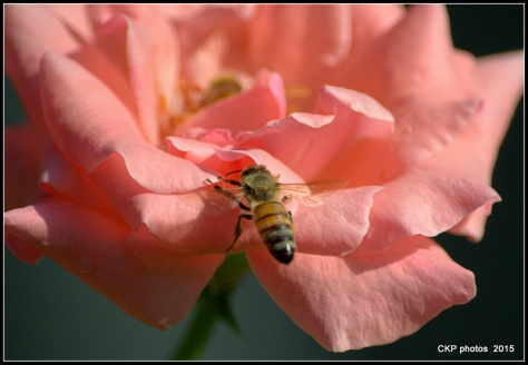 bees and roses at sunrise 116.NEF