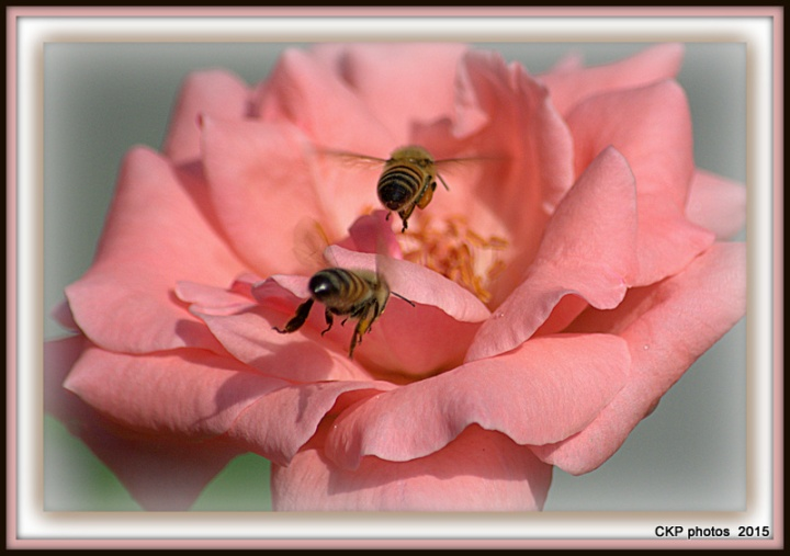 bees and roses at sunrise 124.NEF