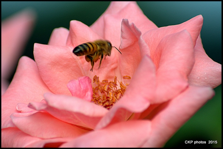 bees and roses at sunrise 147.NEF