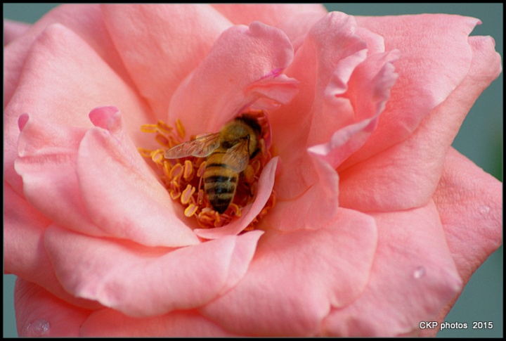 bees and roses at sunrise 170.NEF