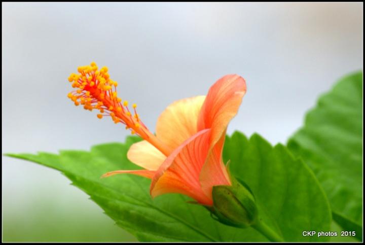 hibiscus aug 2015 003.NEF