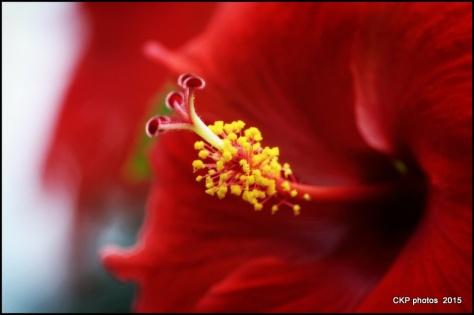 hibiscus aug 2015 006.NEF