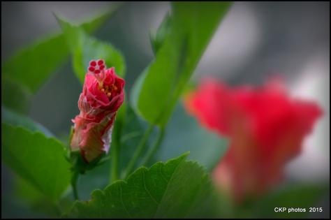 hibiscus aug 2015 039.NEF