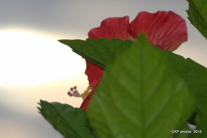 bees, roses and sunrise sept 2015 047.NEF