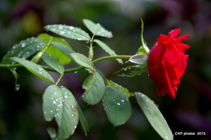 dewy roses sept 2015 092.NEF