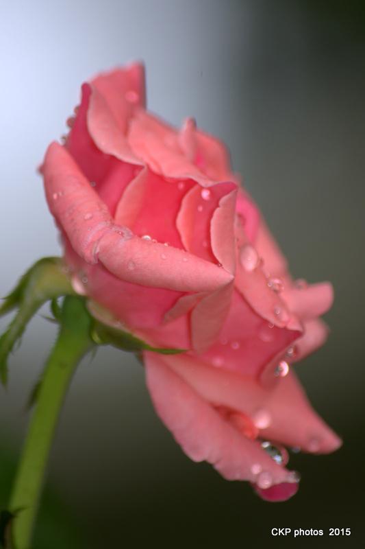 dewy roses sept 2015 123.NEF