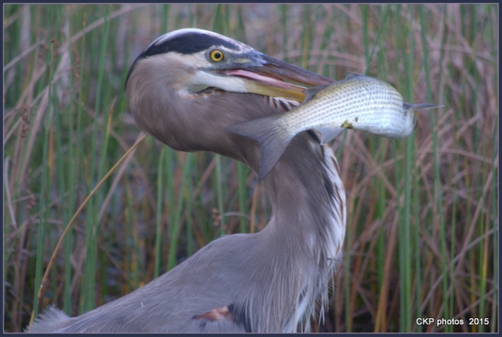 sept heron and park 2015 011.NEF