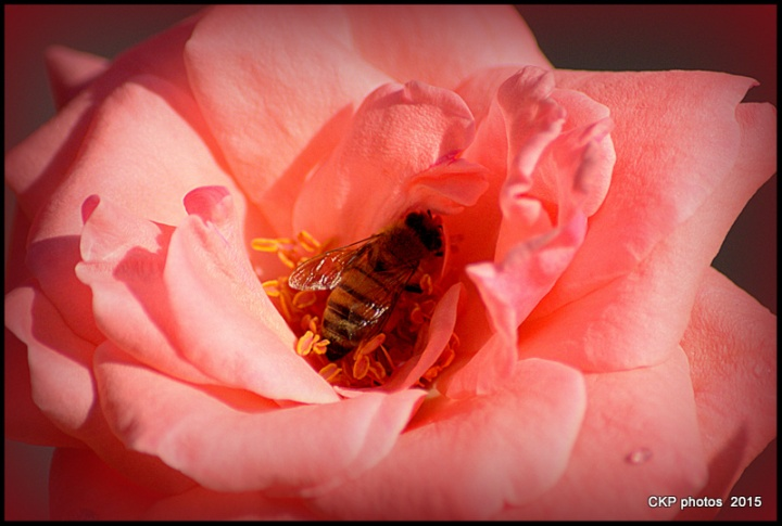 bees and roses at sunrise 096.NEF