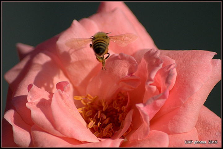 bees and roses at sunrise 097.NEF
