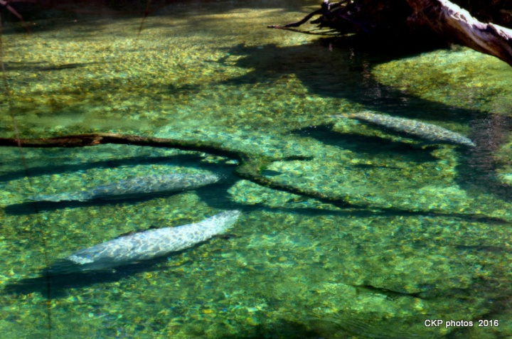 blue spring manatee feb 2016 142.NEF