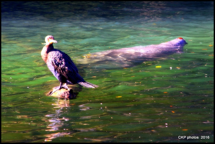 blue spring manatee feb 2016 246.NEF