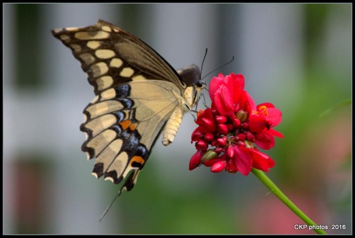 butterfly garden june 10 2016 087.NEF