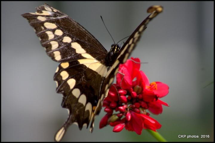 butterfly garden june 10 2016 094.NEF