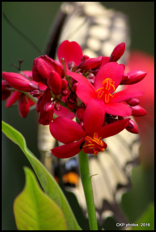 butterfly garden june 10 2016 100.NEF