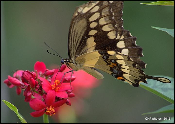 butterfly garden june 10 2016 103.NEF