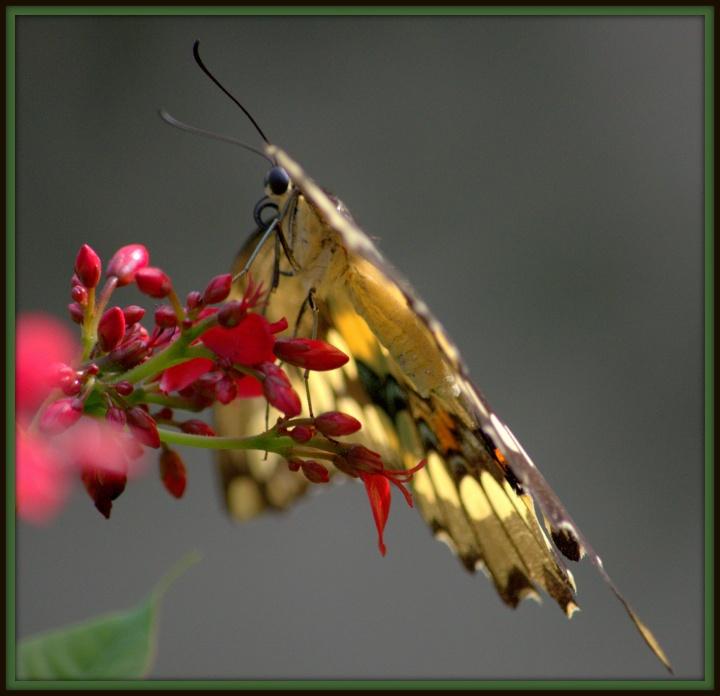 butterfly garden june 10 2016 108.NEF