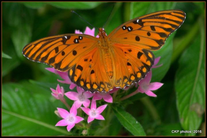 butterfly garden june 10 2016 117.NEF