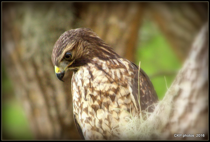hawks in june 2016 copyright ckp 042.NEF