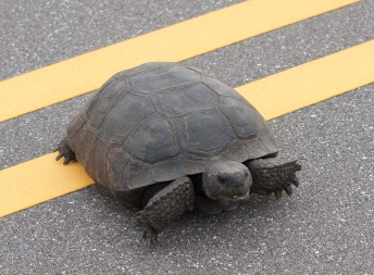 Understanding why the turtle crosses the road-and sometimes helping it!
