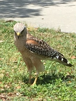 Up close personal encounters with Hawk